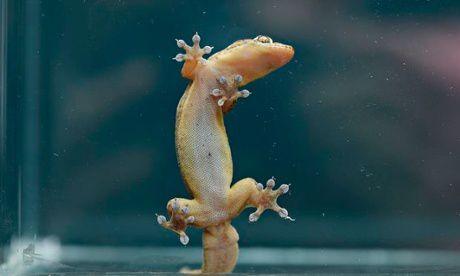 Пять гекконов погибли в эксперименте по изучению их сексуального поведения