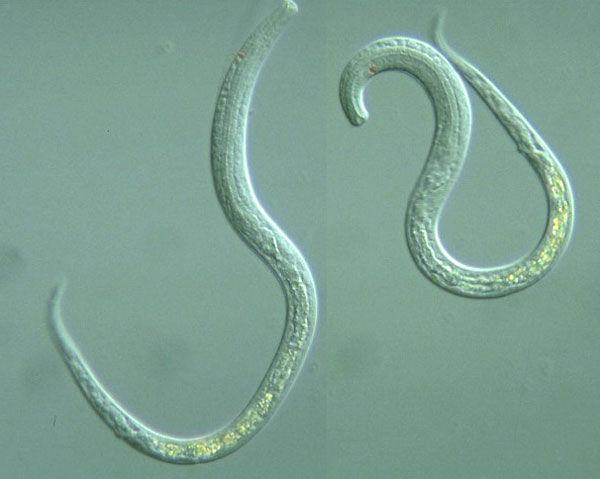 Круглые черви – идеальные кандидаты для изучения влияния микрогравитации